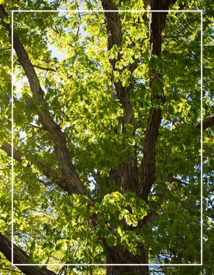 White Oak Forest
