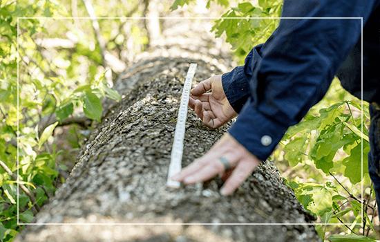 Examining a harvested white oak log